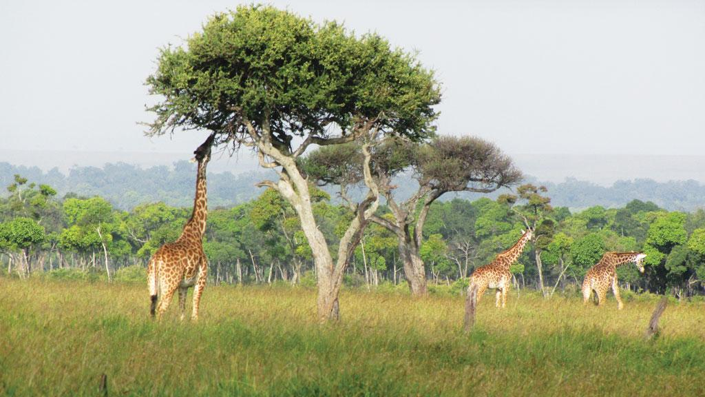 Umbrella thorn acacias of the African