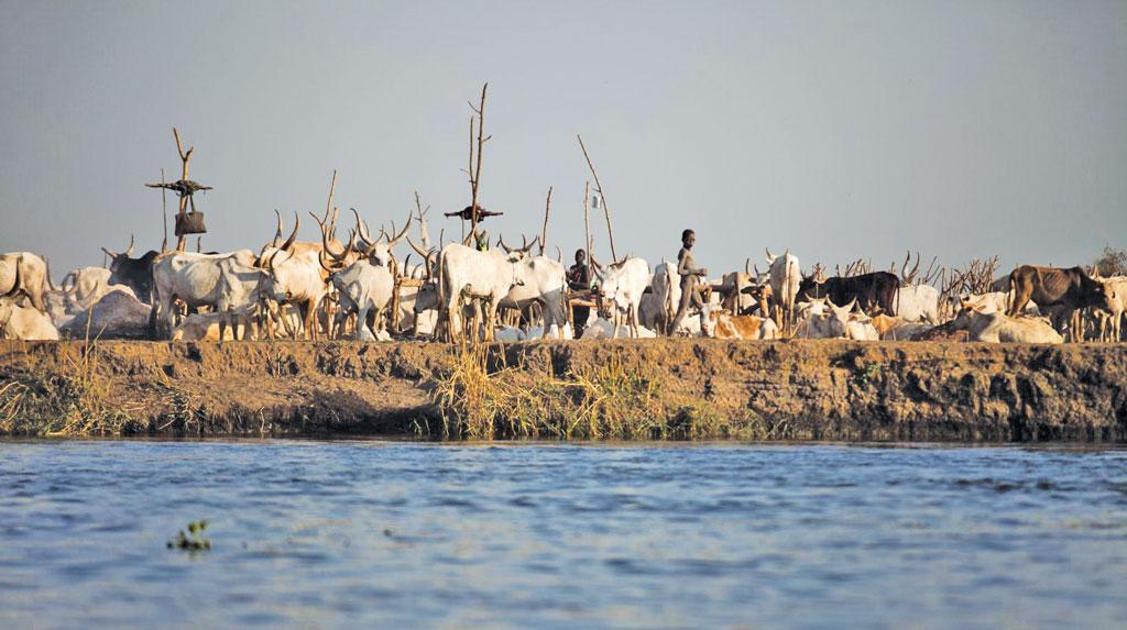 दक्षिणी सूडान के तेरेकेका में व्हाइट नाइल नदी के किनारे मवेशियों का जमावड़ा। यहां खाद्य और कृषि संगठन (एफएओ), अपने साझेदार सेट न्यूम फिशरीज कोऑपरेटिव के माध्यम से मछली पकड़ने वाली किट वितरित करता है, जिससे अकालग्रस्त परिवार मछली पकड़कर अपनी खाद्य जरूरतों को पूरा कर सके