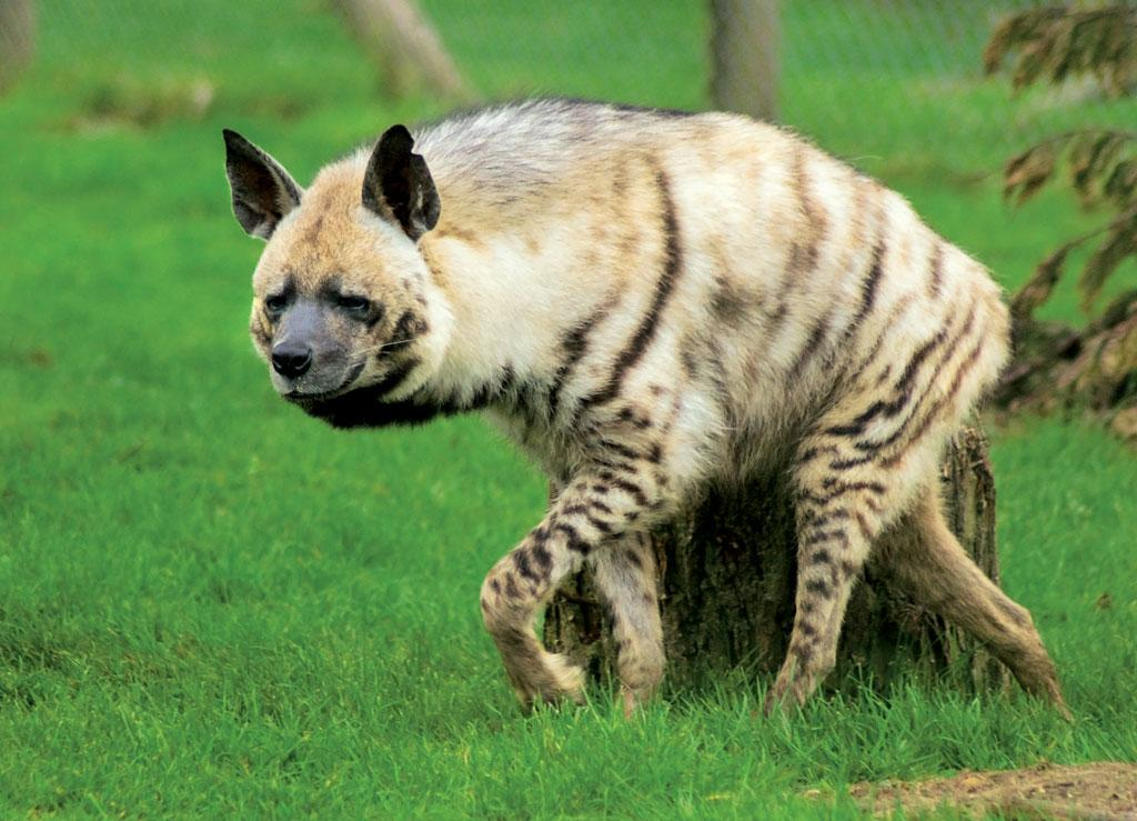 Striped Hyenas, while well