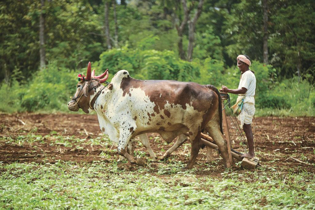 In permaculture, cattle are reared along with crops to maintain a healthy ecosystem