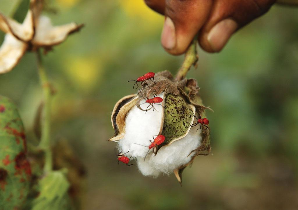 In the absence of awareness, farmers depend on highly toxic pesticides to contain infestations caused by pests, such as red cotton bug
