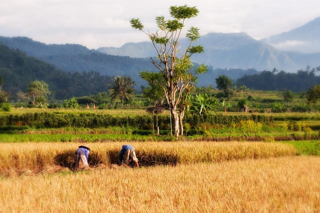 Traditional varieties of rice will be promoted among farmers as they are the best bet for adapting to changing climate. Credit: Pixabay