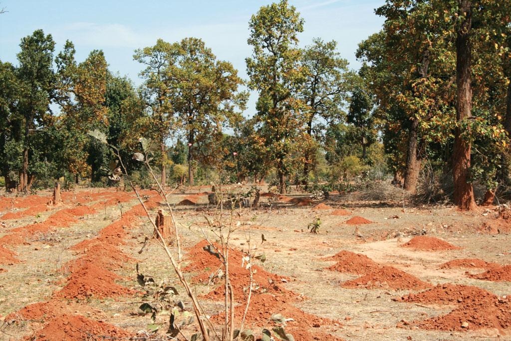 मध्य प्रदेश वन विकास निगम द्वारा साफ किए गए जंगल के बाद पौधारोपण की तैयारी (फोटो: सुनीता नारायण)