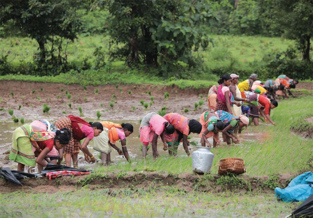 Women agricultural workers planting paddy in a field in Odisha's Malkangiri district