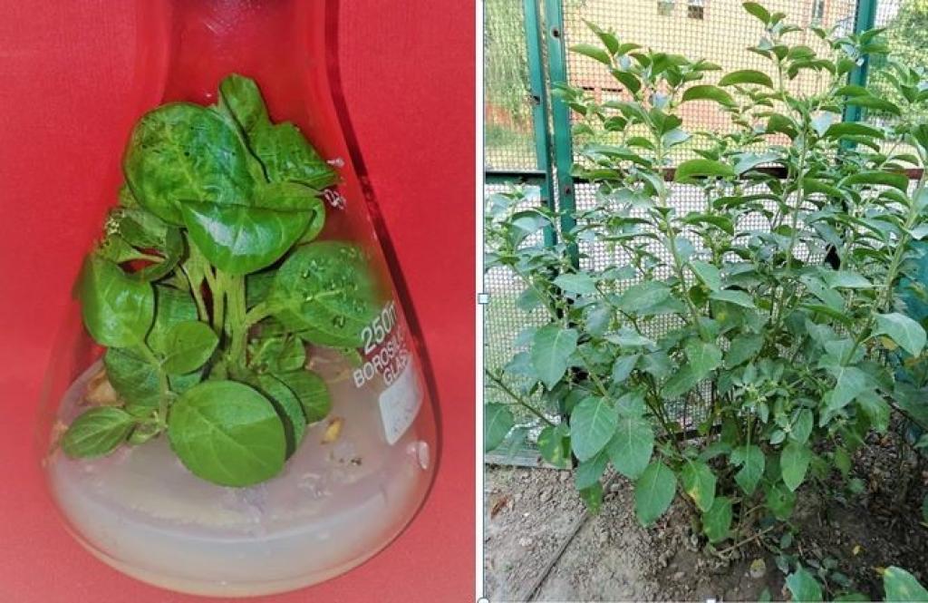 प्रयोगशाला में अश्वगंधा के पौधे का उत्पादन और फील्ड में अश्वगंधा के पौधों का उत्पादन