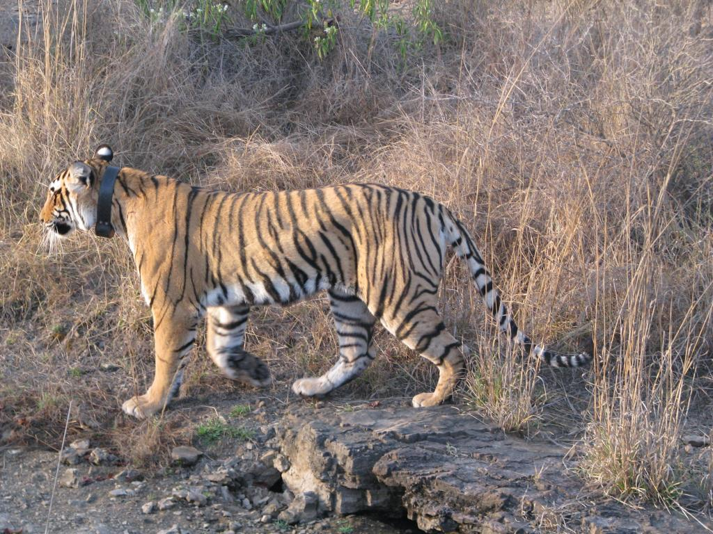 A collared tigress in Ranthambore Tiger Reserve in Rajasthan, one of India's biggest Protected Areas         Credit: Flickr