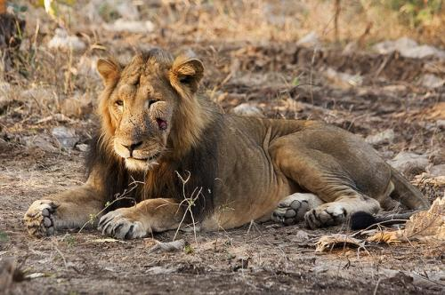 Lions are not shy, especially in the Gir context where they are constantly exposed to human beings and their activities