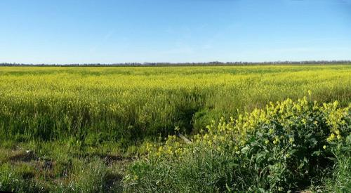 Coalition of NGOs demands rejection of commercialisation application for GM mustard