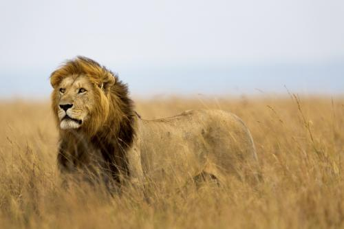 Lion hunting only makes sense if it's part of a package of interventions