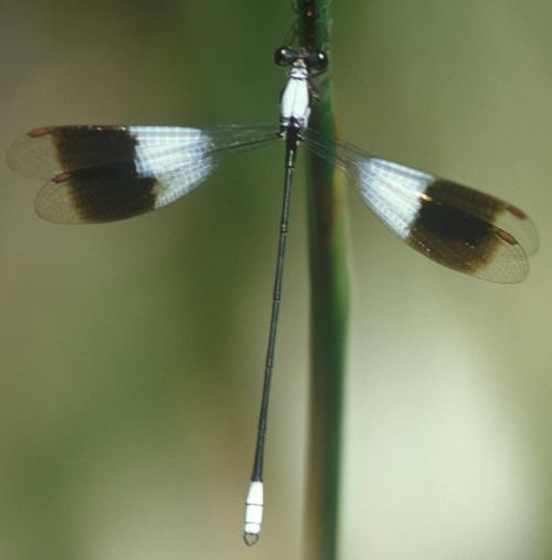 Dragonflies as sentinels for freshwater conservation
