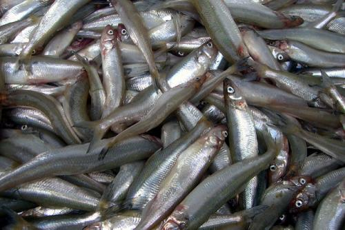 Harvesting ambient energy with fish scales for Fish on energy