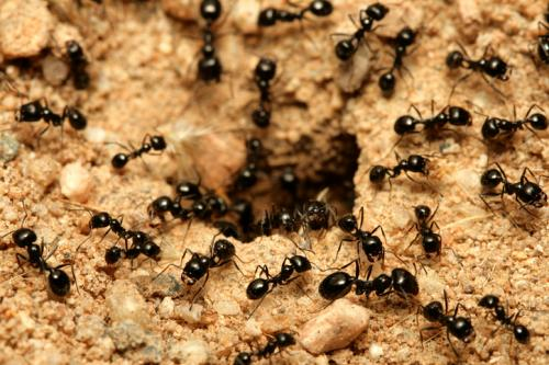New ant species found in Ethiopia shows potential for global invasion