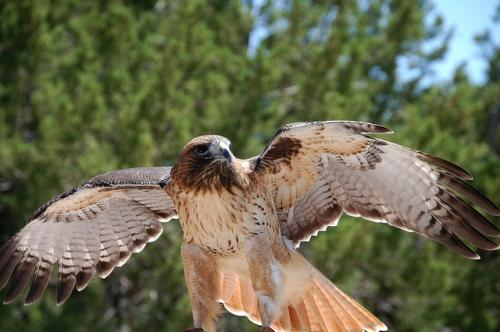 Climate change forces Red-tailed Hawk to skip migration