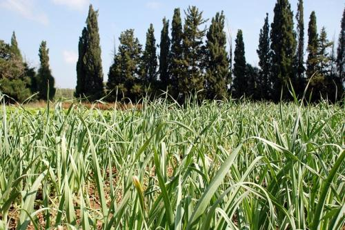 Agricultural production needs to be scaled up to meet rising food demand Credit: StateofIsrael/Flickr
