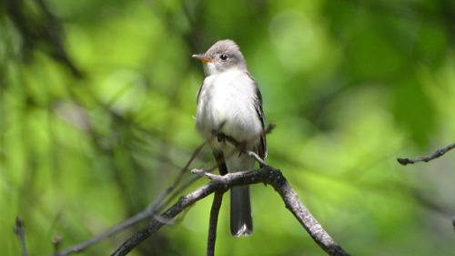 Eastern wood pewee is a small flycatcher bird distinguished most easily by its calls (Credit: Andy Reago & Chrissy McClarren/Flickr)