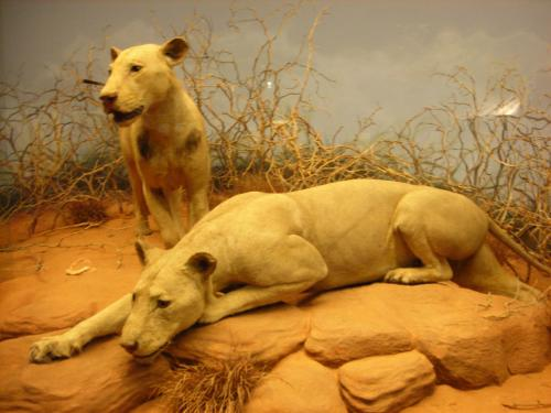 The skins of the Tsavo maneaters at the Field Museum of Natural History in Chicago