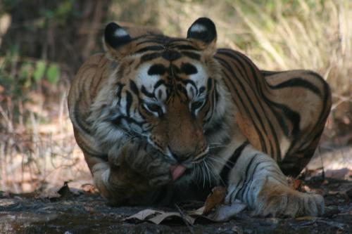 Uttarakhand forest minister blames UP poachers for tiger deaths in Corbett