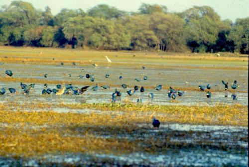 जलवायु कारकों से भी प्रभावित होता है पक्षियों का गायन