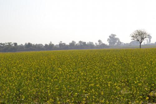 No GM Mustard for now; Centre puts commercial release on hold following protests