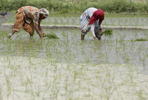 Traditional seeds need to be conserved  for organic farming