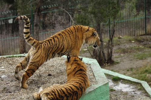 Siberian tigers poaching - photo#41