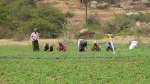 Anantapur farmers take up polycropping to drought-proof agriculture