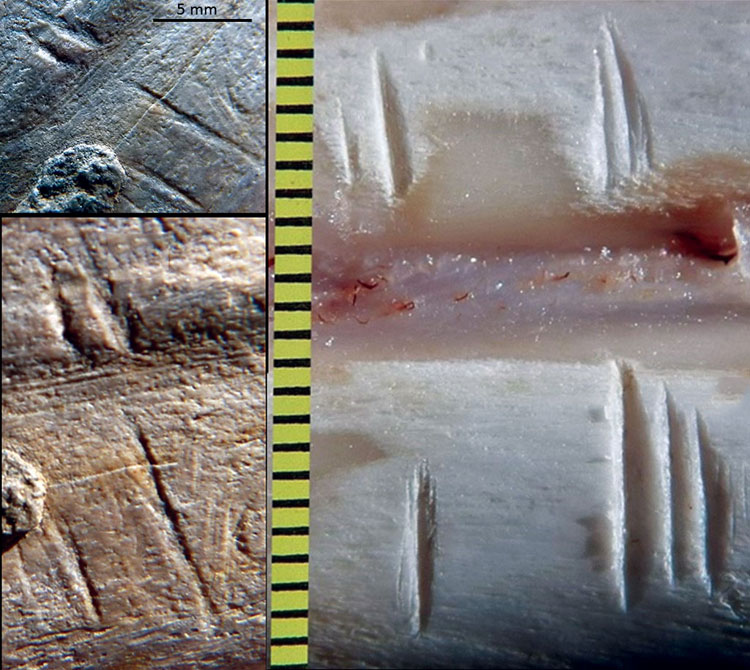 Comparison of fossil (left) and experimental cut marks