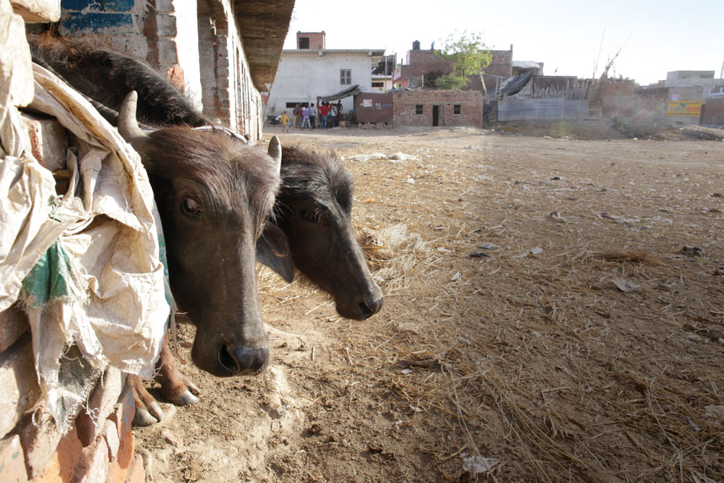 The Bakarganj weekly animal market in Uttar Pradesh's Fatehpur district wears a deserted look. Over 800 head of cattle used to be traded every week at the market before the slaughterhouse ban on March 22 (Photo: Vikas Choudhary)