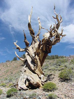 The bristlecone pine tree, which