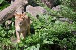 91 lions died in Gujarat last year, the highest in three years: Javadekar