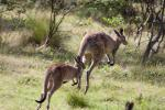 Feral animals are running amok on Australia's islands – here's how to stop them