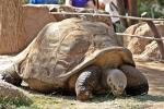 Galapagos giant tortoises make a comeback, thanks to innovative conservation strategies