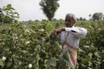 बीटी कॉटन को लेकर फिर से कठघरे में बीज कंपनियां