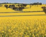 Government to take a decision on GM Mustard by September