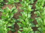 औषधीय गुणों वाली कुसुम हो सकती है पत्तेदार सब्जियों का विकल्प