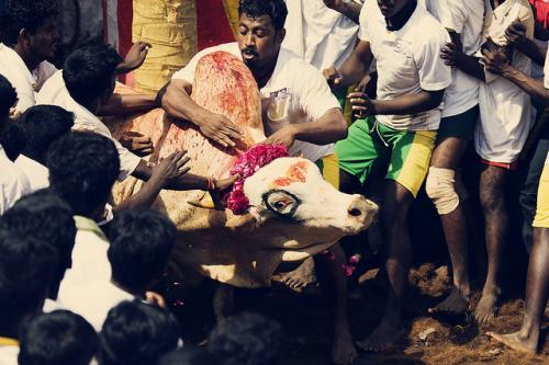 Supreme Court puts Jallikattu on hold