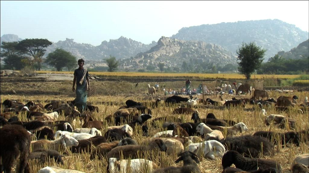 Kuruba shepherds and their flocks     Credit: Krupakar and Senani