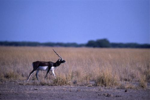 Refuge pockets critical for persistence of Blackbuck in human-dominated landscapes: Study