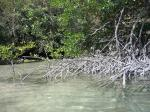 Southeast Asia's mangroves under threat due to land conversion for cultivation