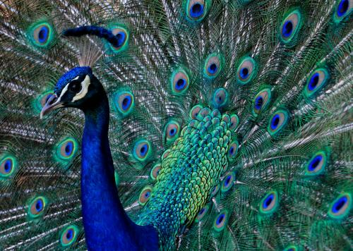 National bird and state animal—a nuisance in Goa?