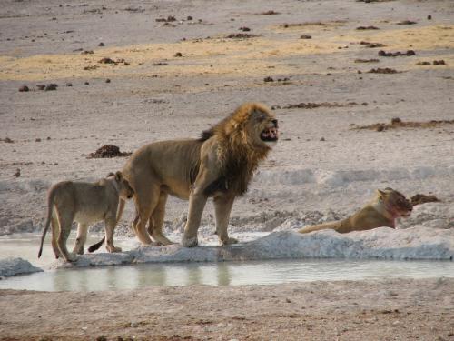 Zimbabwe lifts ban on lion hunting