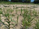 Crash in maize production may hit over a million people in Zimbabwe