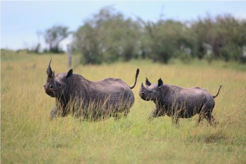More than 1,300 rhinos fell to poaching in Africa in 2015: IUCN