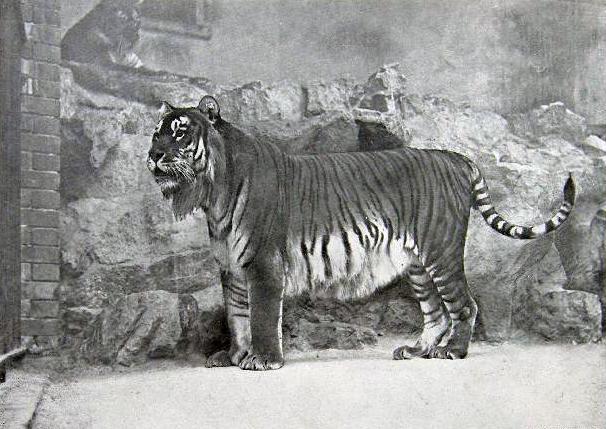 A captive Caspian Tiger in Berlin Zoo in 1899 Credit: Wikipedia