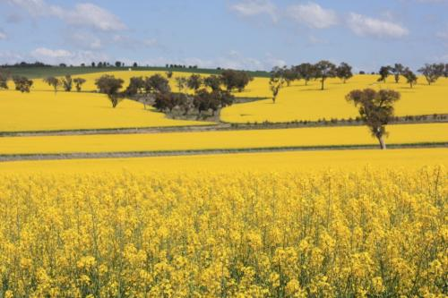 Do we really need GM mustard in India?