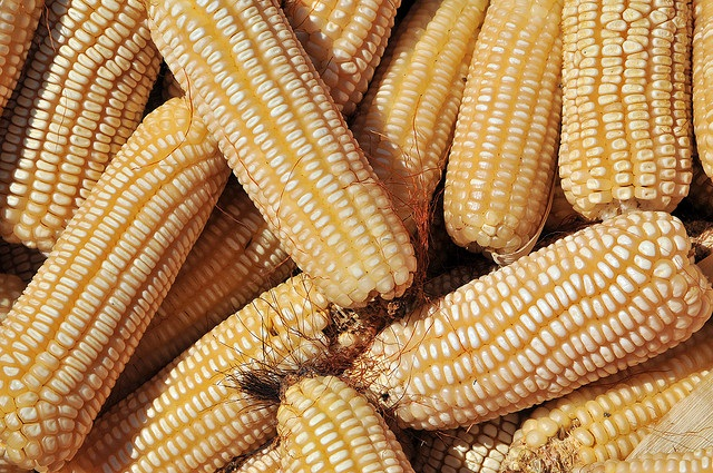 The maize crop, which is grown by 80 per cent of subsistence farmers in the region, will be badly hit by increased temperatures and poor rains Credit: CIAT/Flickr