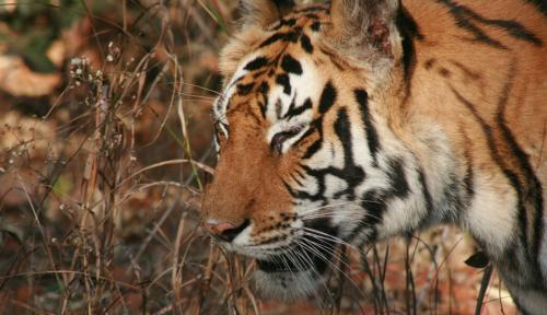 Only 3,000 tigers left in the world, says IUCN