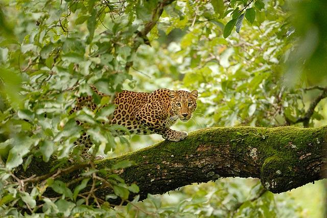 Study documents 245 human-leopard conflicts in Karnataka