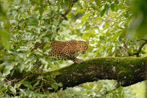 Study documents 245 human-leopard conflicts in Karnataka