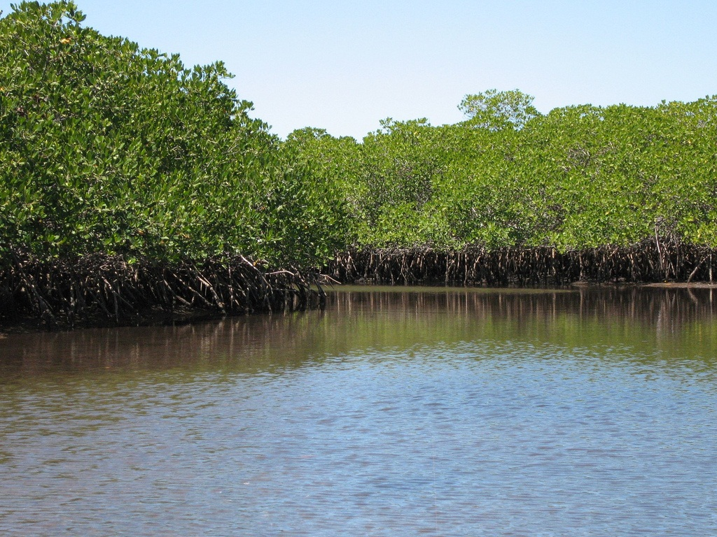 Mangrove ecosystems are also extremely effective in sequestering carbon dioxide Credit: Troy Mckaskle/Flickr